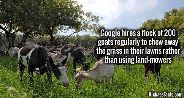 1193 Google Goats Grazing