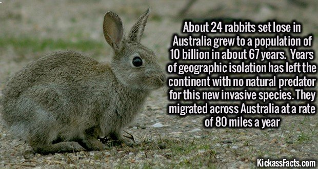 1311 Australian Rabbit Population