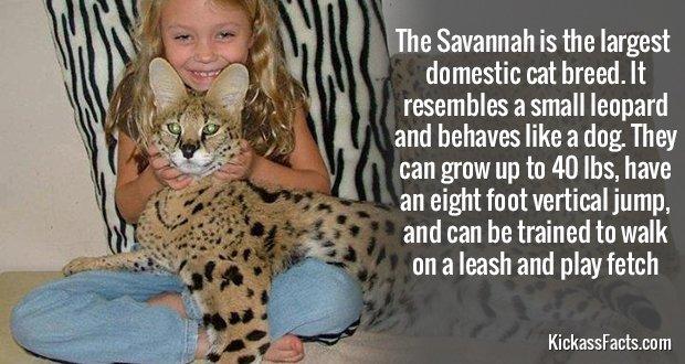543Savannah Cat