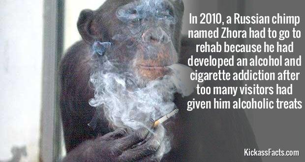 608Zhora Chimp