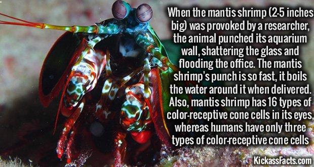 962 Mantis-Shrimp