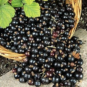 Blackcurrant- Interesting Facts About Fruits