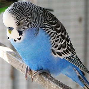 Budgie-Random Fact List