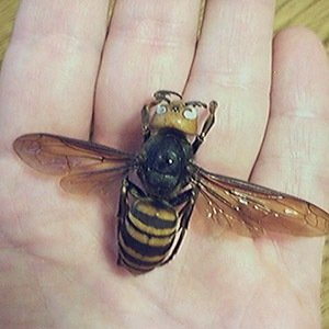 Giant Hornets Japan-Amazing Facts About Japan