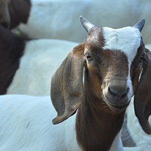Goat Mower-Interesting Facts About Google