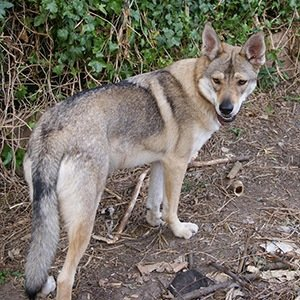 Northern Inuit Dog-Interesting Facts About Game of Thrones