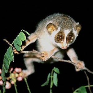 Slow loris-Facts About Poisons, Venoms