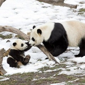 Baby Panda-Interesting Facts About Babies