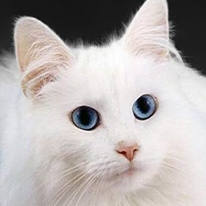 Blue Eyes Cats-Interesting Facts About Eyes