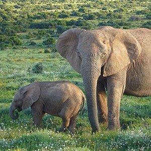 Elephants-Random Fact List