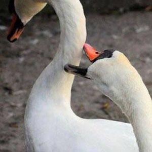 Hannibal swan--Random Facts List