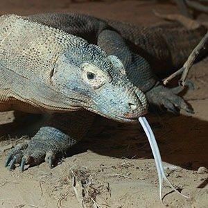 Komodo Dragon-Random Fact List
