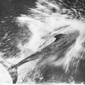 Pelorus dolphin-Random Facts List