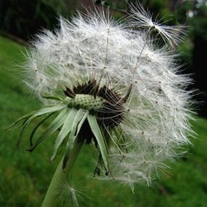 dandelion plant-Interesting Facts About Wine
