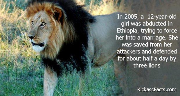 245Ethiopia's lions