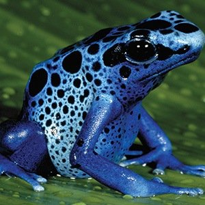 Poison Dart Frogs- Random Facts List