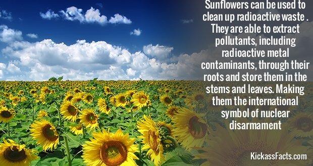 350Sunflower