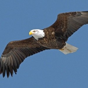 Bald Eagle-Random Facts List