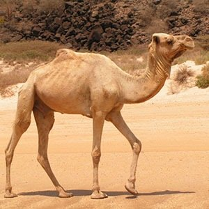 Camels-Interesting Facts About Water