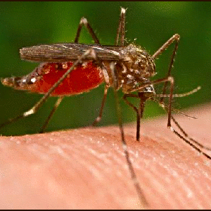 Mosquitoes-Interesting Facts About Human Blood