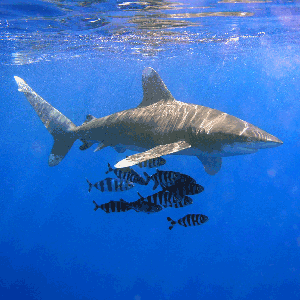 Oceanic Whitetip-Interesting Facts About Sharks