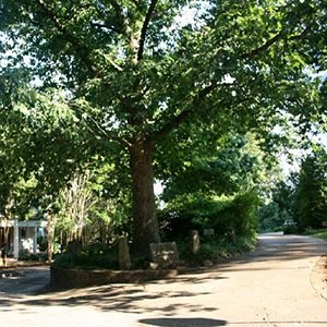Athens, Georgia Tree That Owns Itself-Interesting Facts About Trees