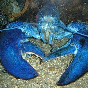 Blue Lobster-Random Facts List