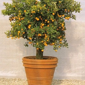 Bonsai Orange Tree-Interesting Facts About Trees