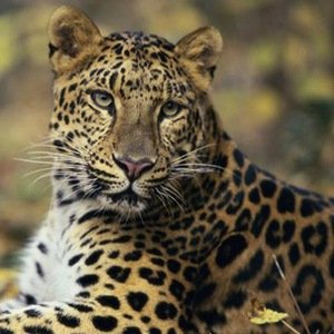 Leopard-Interesting Facts About Big Cats