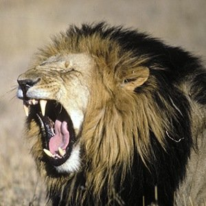 Lions with Black Mane-Interesting Facts About Big Cats