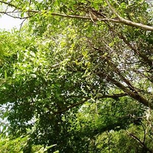 Manchineel Tree-Interesting Facts About Trees