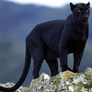 Panther-Interesting Facts About Big Cats