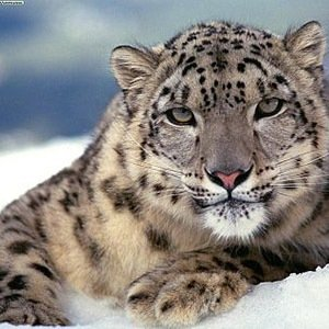 Snow leopards-Interesting Facts About Big Cats