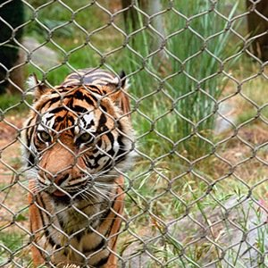 USA Tigers-Interesting Facts About Big Cats