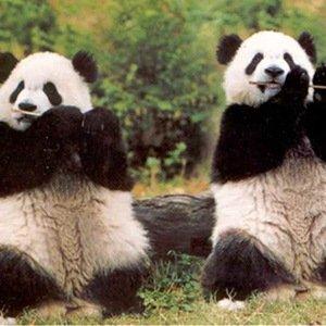 Pandas-Random Facts List