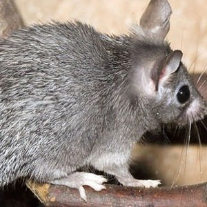 African spiny mice-Random Facts List