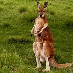 Kangaroo- Interesting Facts About Bacteria