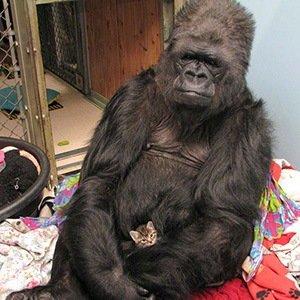 Koko, the gorilla-Random Facts List