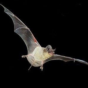 Mexican free-tailed bat-Interesting Facts About Sugar