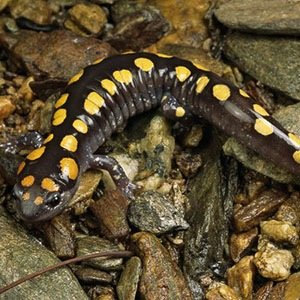 Salamanders-Interesting Facts About Fire