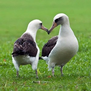 Albatrosses Pair-Interesting Facts About Birds