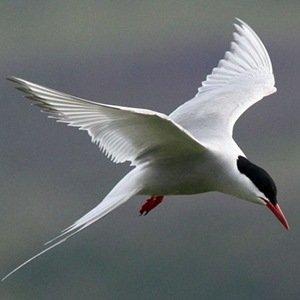 Arctic Terns-Unbelievable Facts About Birds