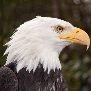 Bald Eagle- Amazing Facts About Birds