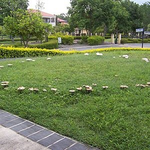 Fairy Ring-Interesting Facts About Mushrooms