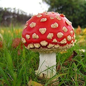 Fly Agaric mushrooms-Interesting Facts About Mushrooms