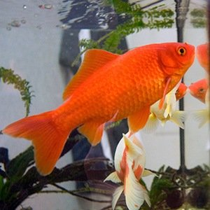Goldfish-Interesting Facts About Memories