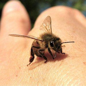 Honey Bee Sting
