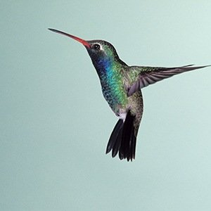 Hummingbirds- Amazing Facts About Birds