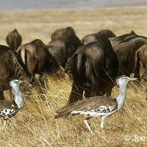 Kori bustard- Amazing Facts About Birds