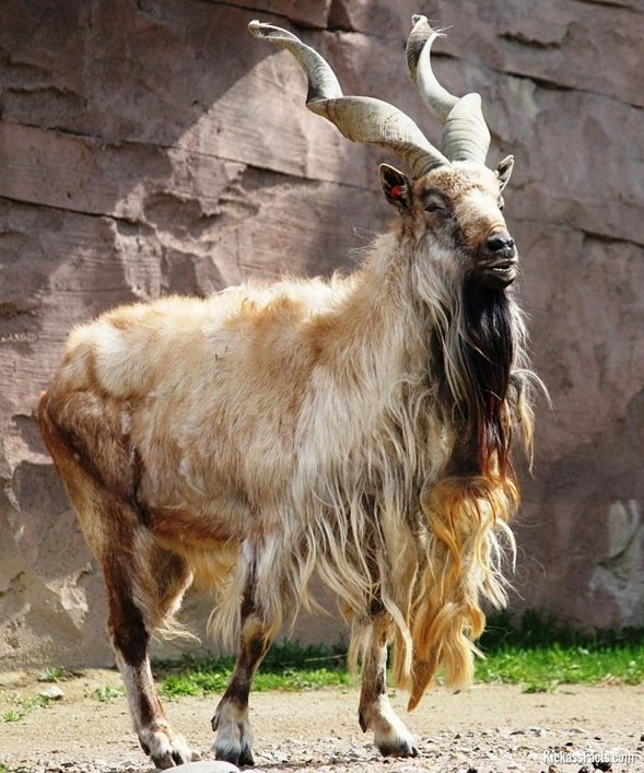 Markhor-Animals That You Didn't Know Existed